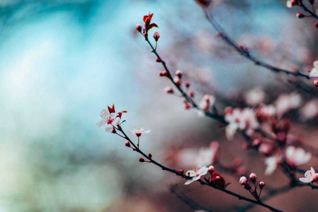 Fedora 26 wallpaper - Cherry Blossom